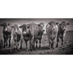 Herd of Cows Framed Canvas Print Wall Art