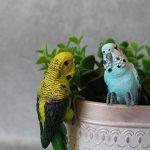 Australian Budgie Bird Pot Sitter 8