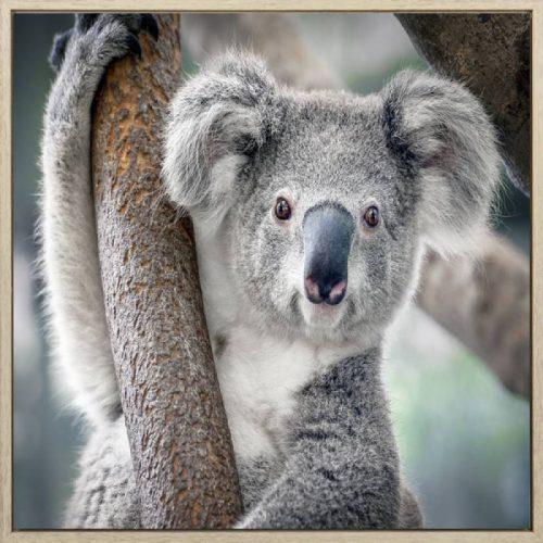 Grey Koala Framed Canvas Print Wall Art