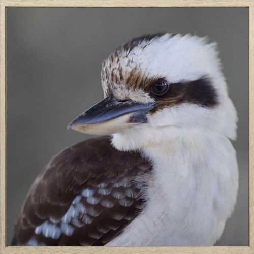 Kookaburra Bird Framed Canvas Print Wall Art